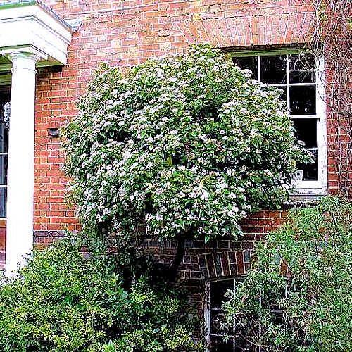 Viburnum tinus laurier tin jeune plante 10 30cm en godet viburnum tinus est une arbuste - Laurier tige en pot ...
