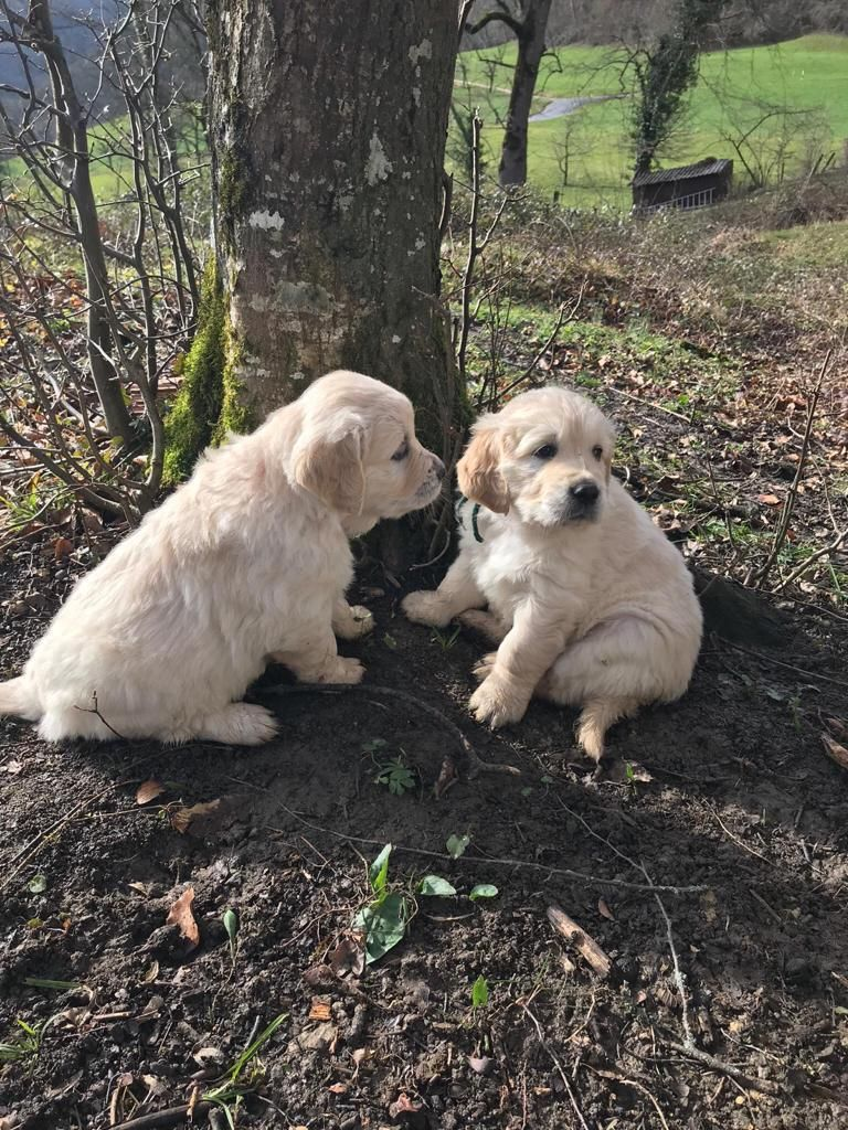The Puppies Now At 6 Weeks Old Going To Choose The One Tomorrow And Then Get It In Two Weeks So Excited In 2020 Cute Dogs And Puppies Cute Dogs Dogs Golden Retriever