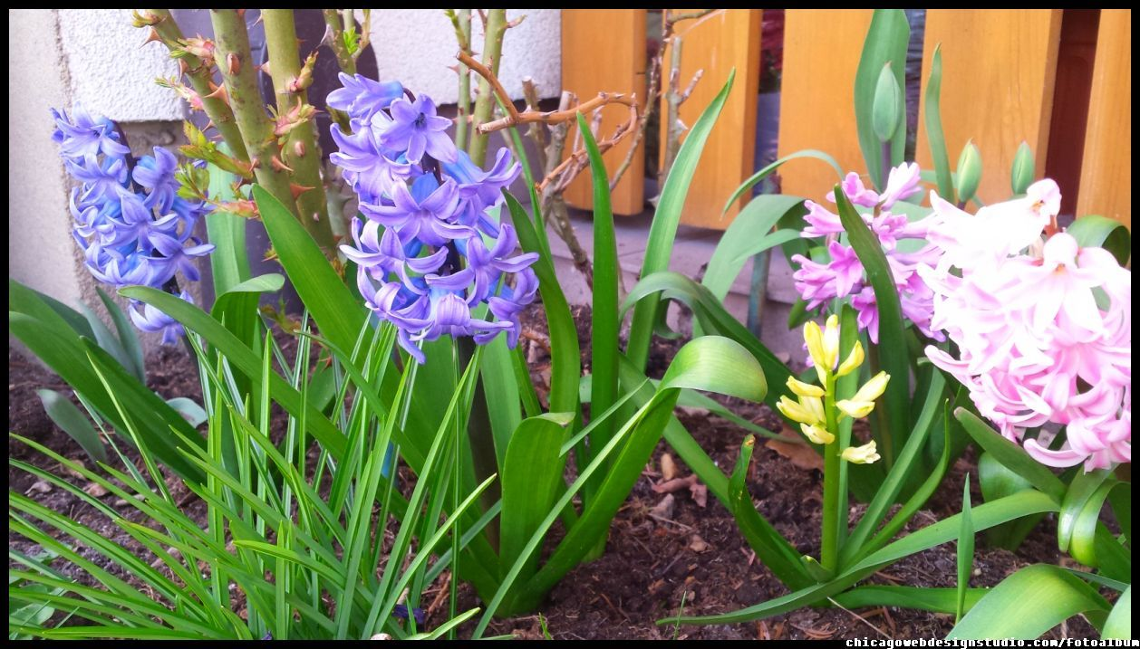 Flowers Hiacynty Garden Flowers Spring Kwiaty Wiosna Ogrod Ogrodnictwo Kwiaty Flowers Polish Flowers Polskie Kwiaty Kwi Flowers Plants Image