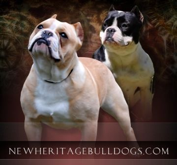 New Heritage Bulldogs Shorty Bulls Puppies For Sale Puppies