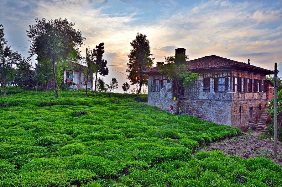 Tea plantation and house in Black Sea region