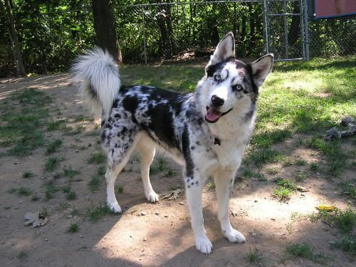 Merle Mix Husky Dogs Siberian Husky Mix Sheep Dog Puppy