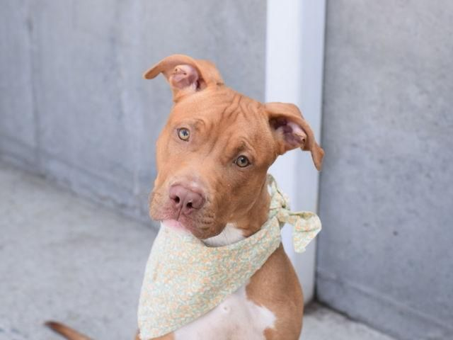 Adopt Reece On I Love Dogs Pitbulls Dogs