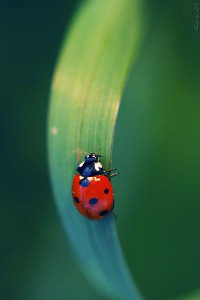 Ladybug by *Spademm