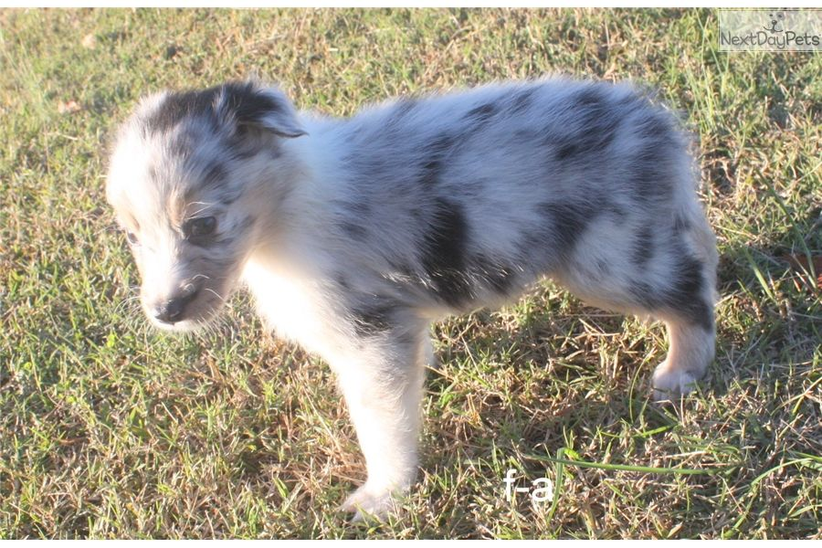 Australian shepherd puppy for sale near huntsville