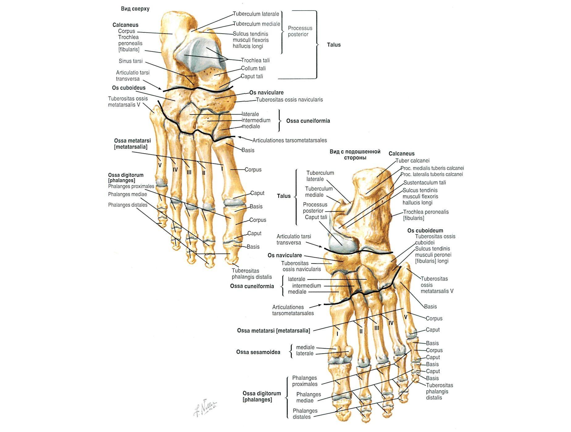 anatomy273.jpg (1850×1400) | anatomy | Pinterest | Gross anatomy ...