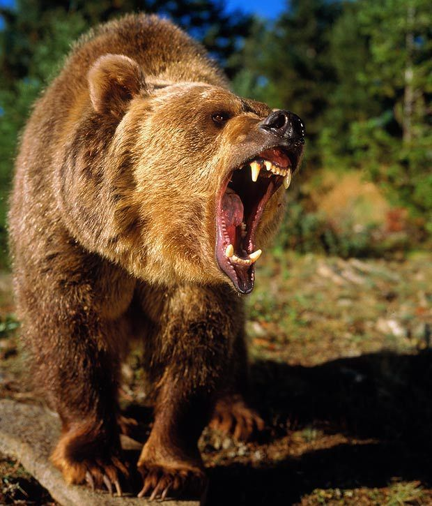 Медведь с открытой пастью картинки