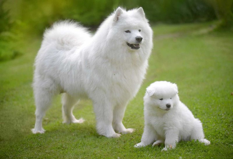 Samoyed Puppy Price Range Cost How Much Are Samoyed Dogs