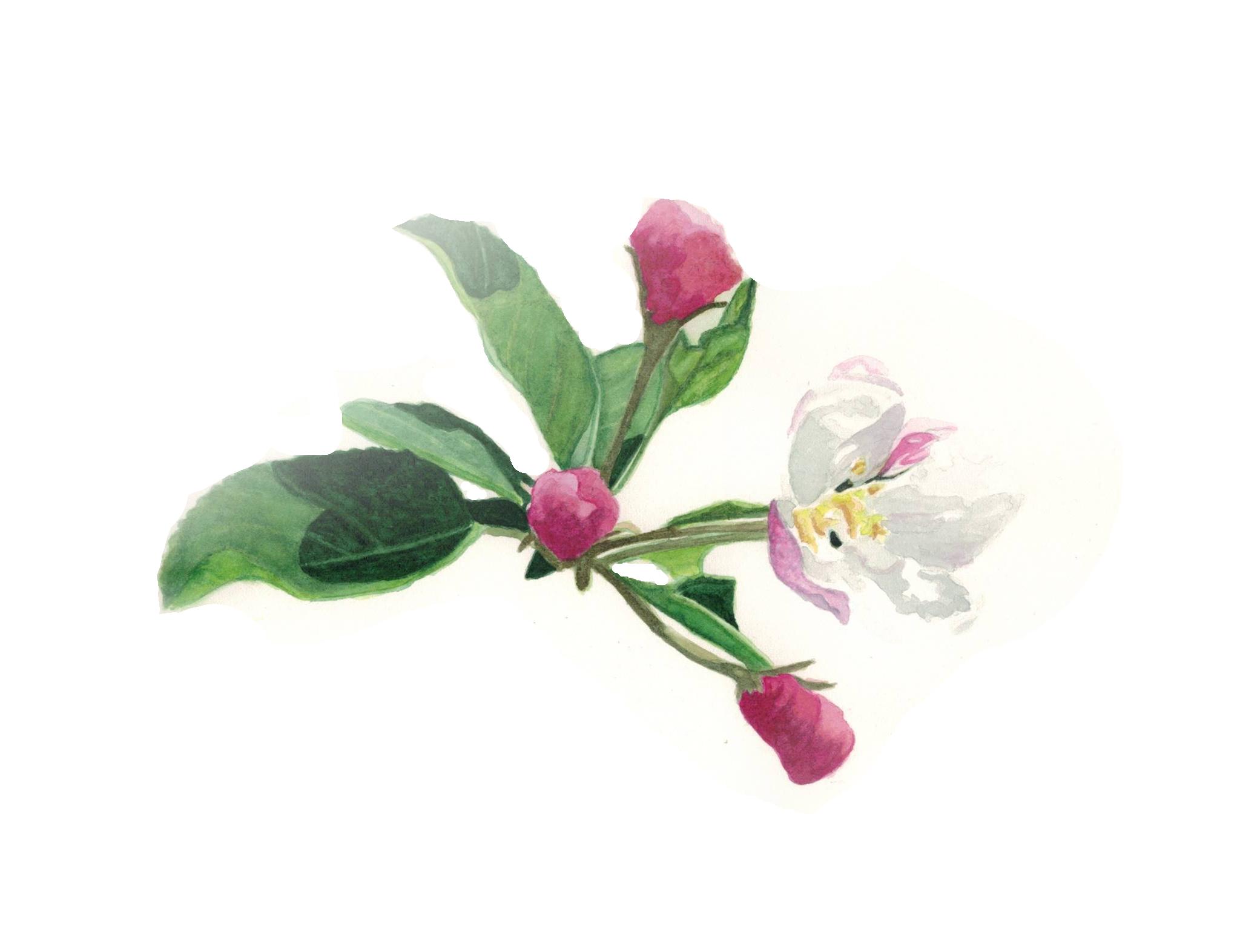 Watercolour - Apple blossom
