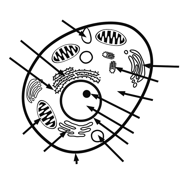 Animal Cell Coloring Page With Labels Animal Cell Animal Cells Worksheet Animal Cell Activity