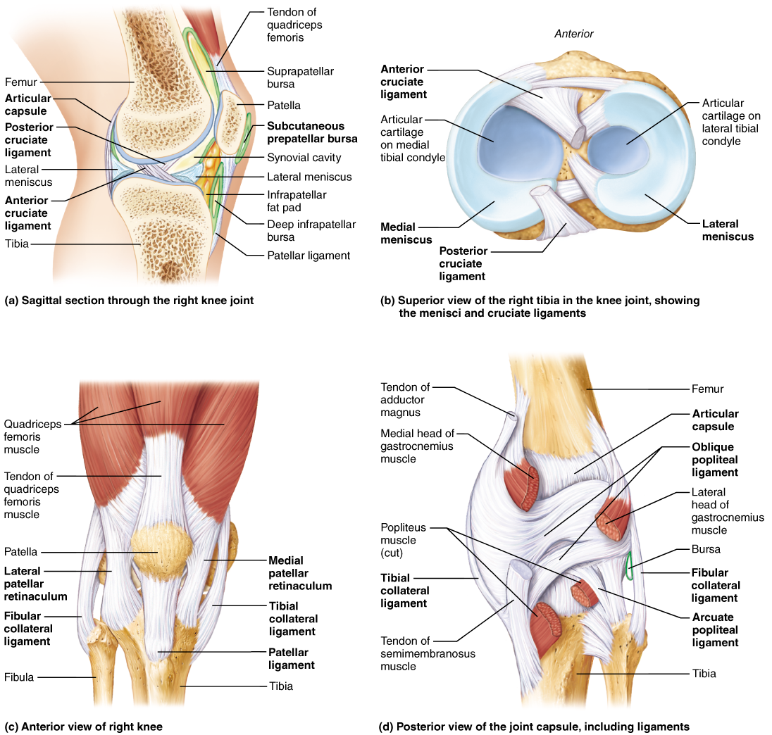 Selected synovial joints nursing pinterest synovial joint knee anatomy ligaments and tendons human anatomy diagram 28 images knee anatomy diagram bones tendons ligaments knee wiring knee tendons anatomy human ccuart Choice Image