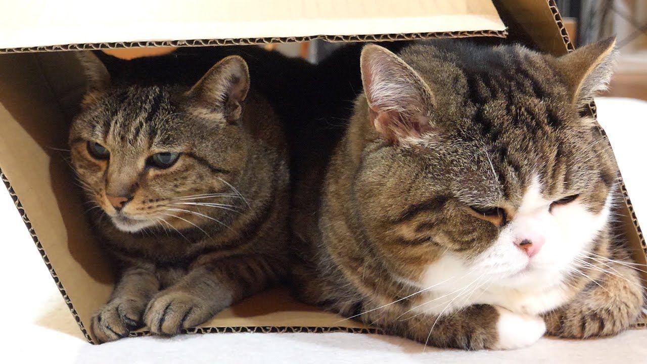 一緒に箱に入るねこ Maru Hana Use The Box Together かわいい猫 まる 猫 猫