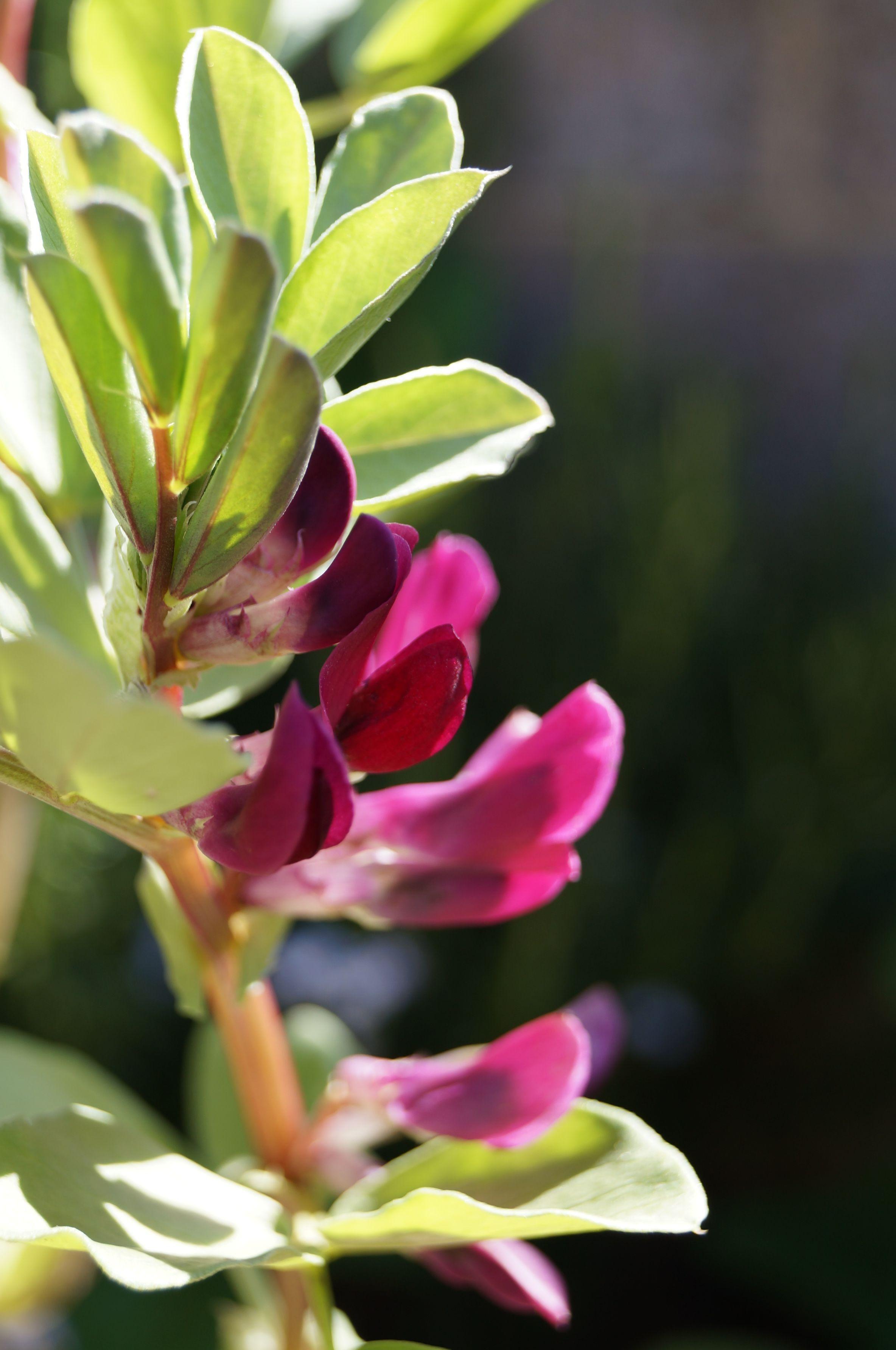 Broad Bean Crimson Flowered May Native Plants Plants 400 x 300