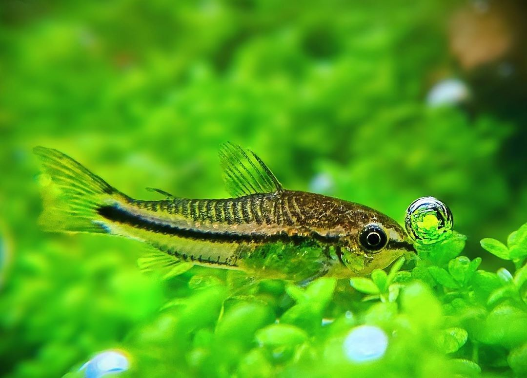 Pygmy Cory Moving And Popping Bubbles Tropical Fish Fish Pet Freshwater Fish