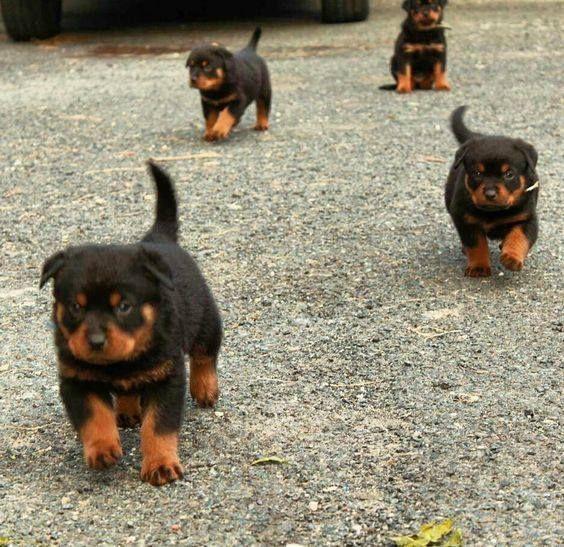 70 Twitter Rottweiler Beautiful Babies Animals