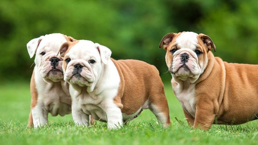 Best Harness Specifically For English Bulldogs Bulldog English