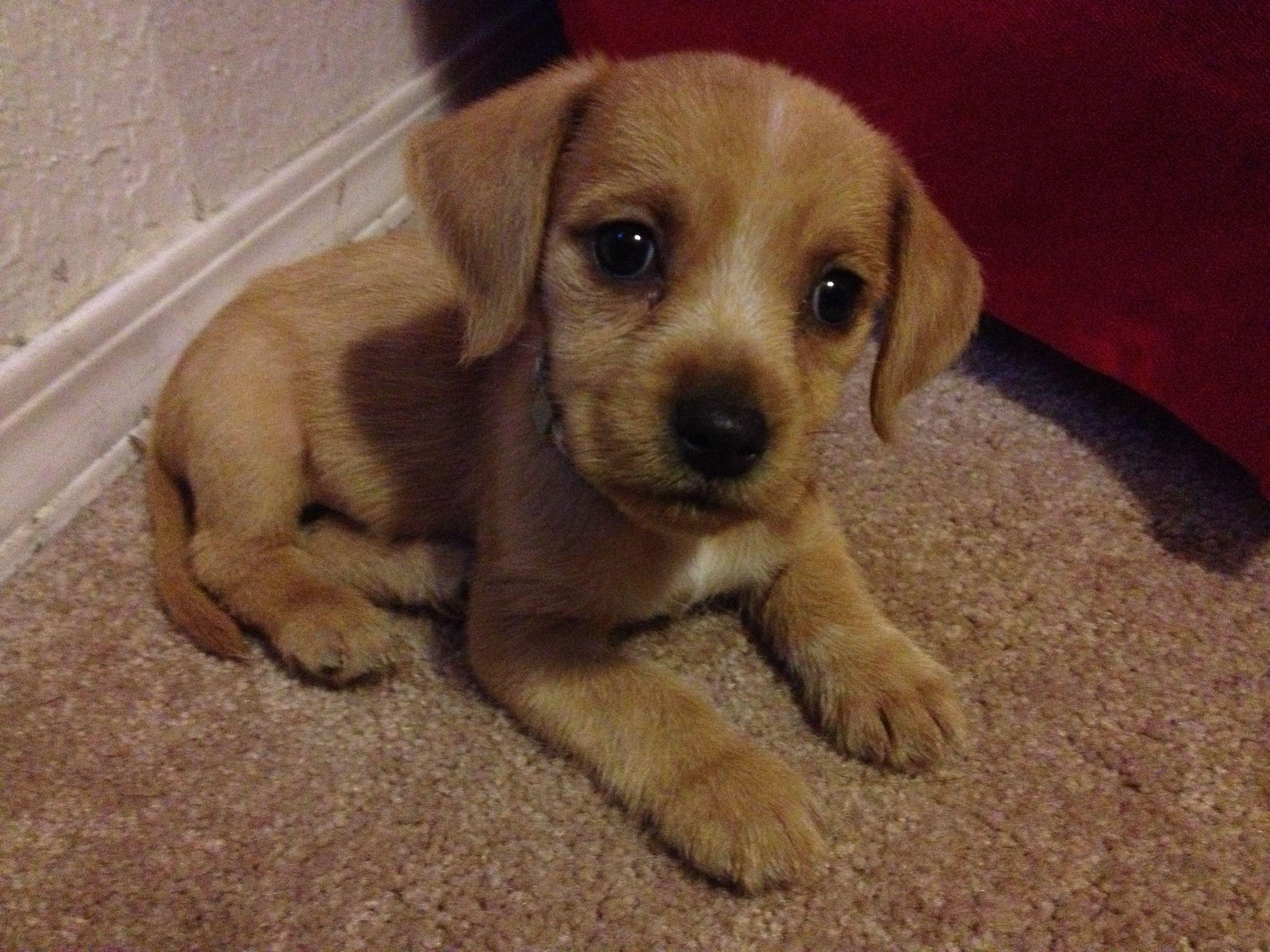 Daisy my cute beagle and golden retriever mix