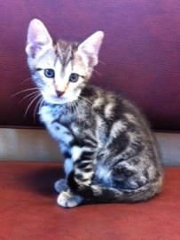 Stella is a 2 month 7 days old domestic shorthaired kitten. Stella is a charming girl who loves attention just as much as playing with her toys. If interested in Stella, please email adoptions@allfurloveanimalsociety.org.