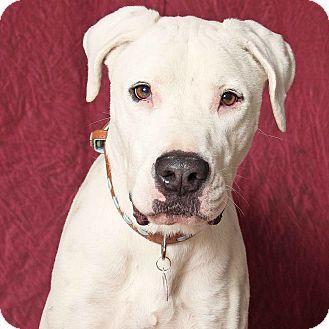 Gilbert Az Great Dane Boxer Mix Meet Kratos A Dog For