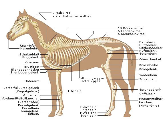 Pferde-Anatomie - Knochenbau deines Pferdes - Pferdeskelett | Pferde ...