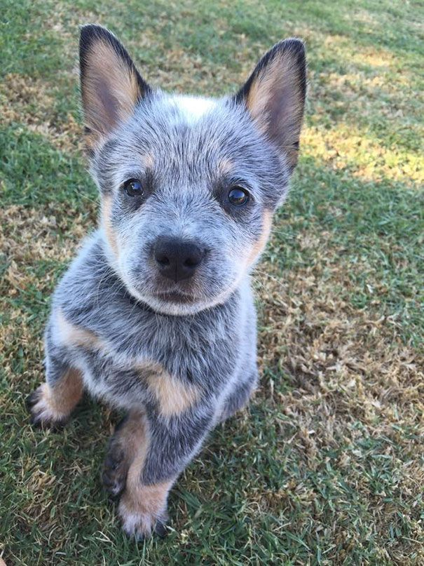 50 Adorable Puppies To Celebrate National Puppy Day Heeler Puppies Blue Heeler Puppies Cattle Dog Puppy