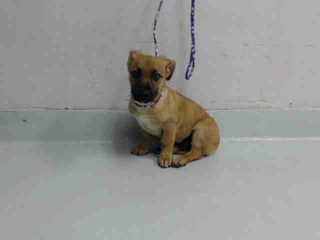 Black Mouth Cur Dog For Adoption In Pasadena Tx Adn 824094 On