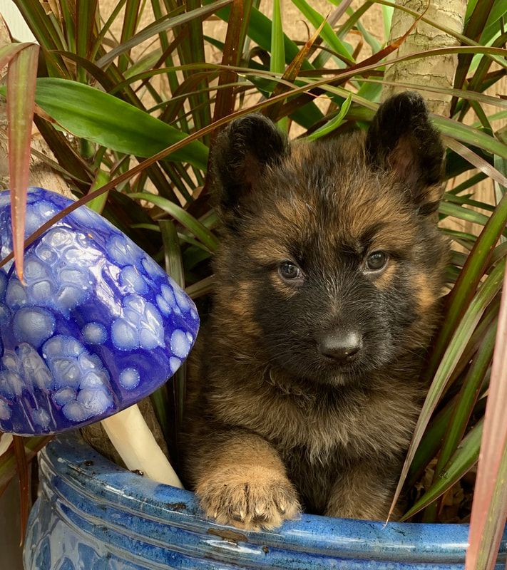 German Shepherd Puppies For Sale in Florida Ruskin House