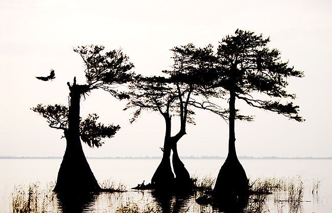 Cypress Trees In Louisiana Cypress Trees Caddo Lake In