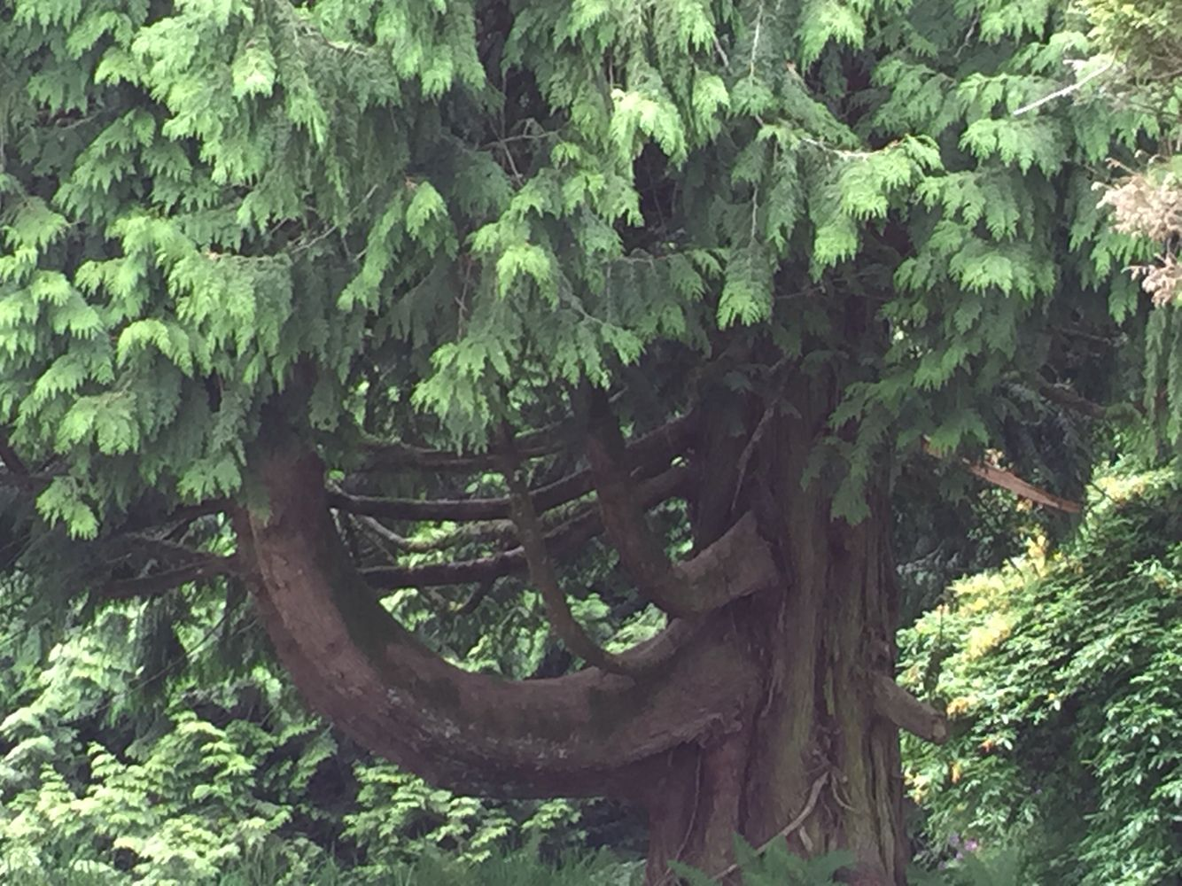 Cedar tree with character for climbing at the Westminster Mission
