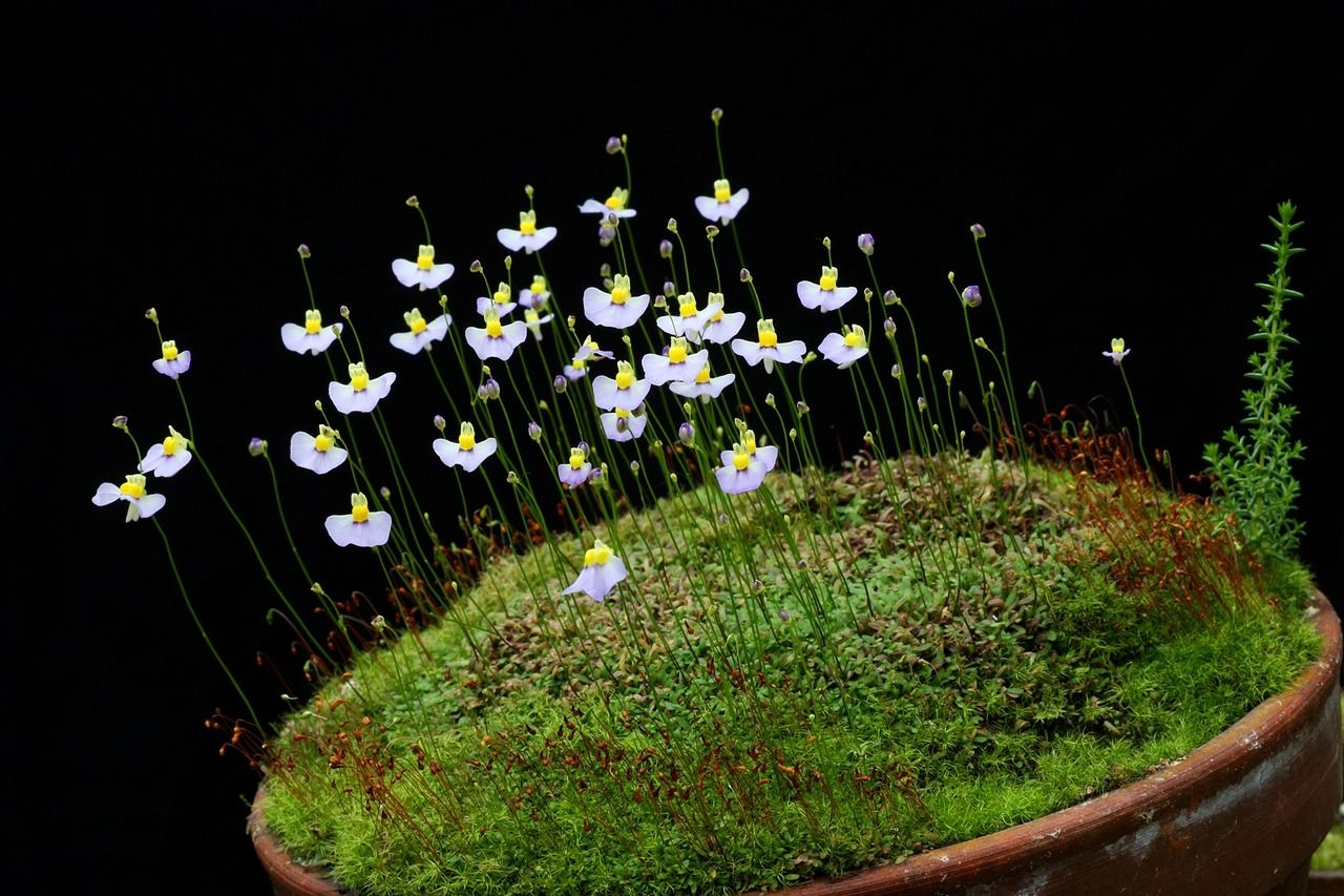 Utricularia bisquamata is a small annual carnivorous plant that belongs to the genus Utricularia. It is native to southern Africa, where it can be found in Angola, Lesotho, Madagascar, Namibia, and South Africa