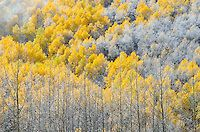 Fall color in Aspen, Colorado.