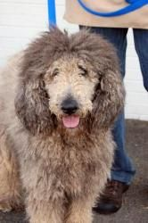 Adopt Harriet On Poodle Dogs Adoption