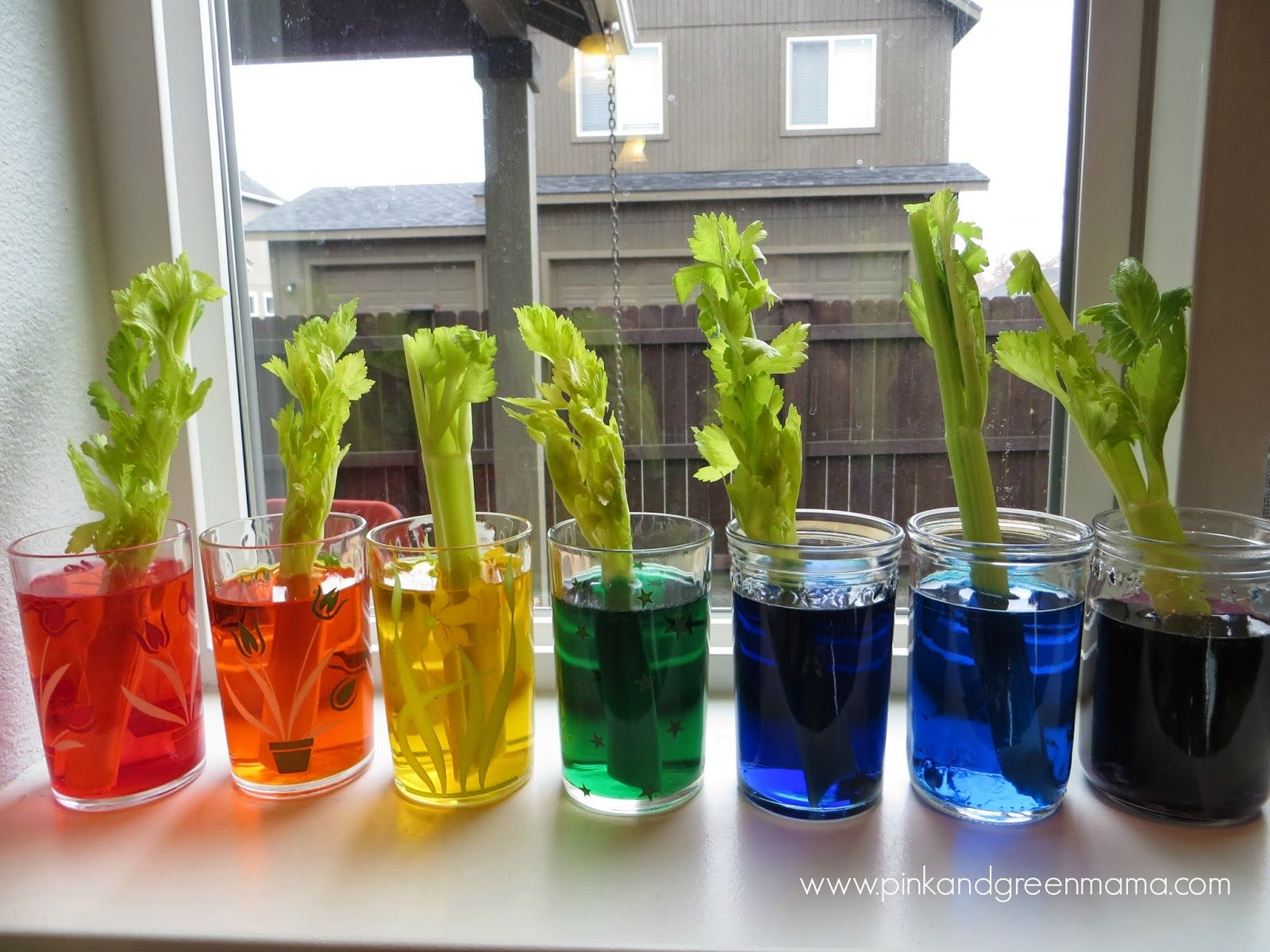 Celery Science Colored Stalk And Leaves Experiement