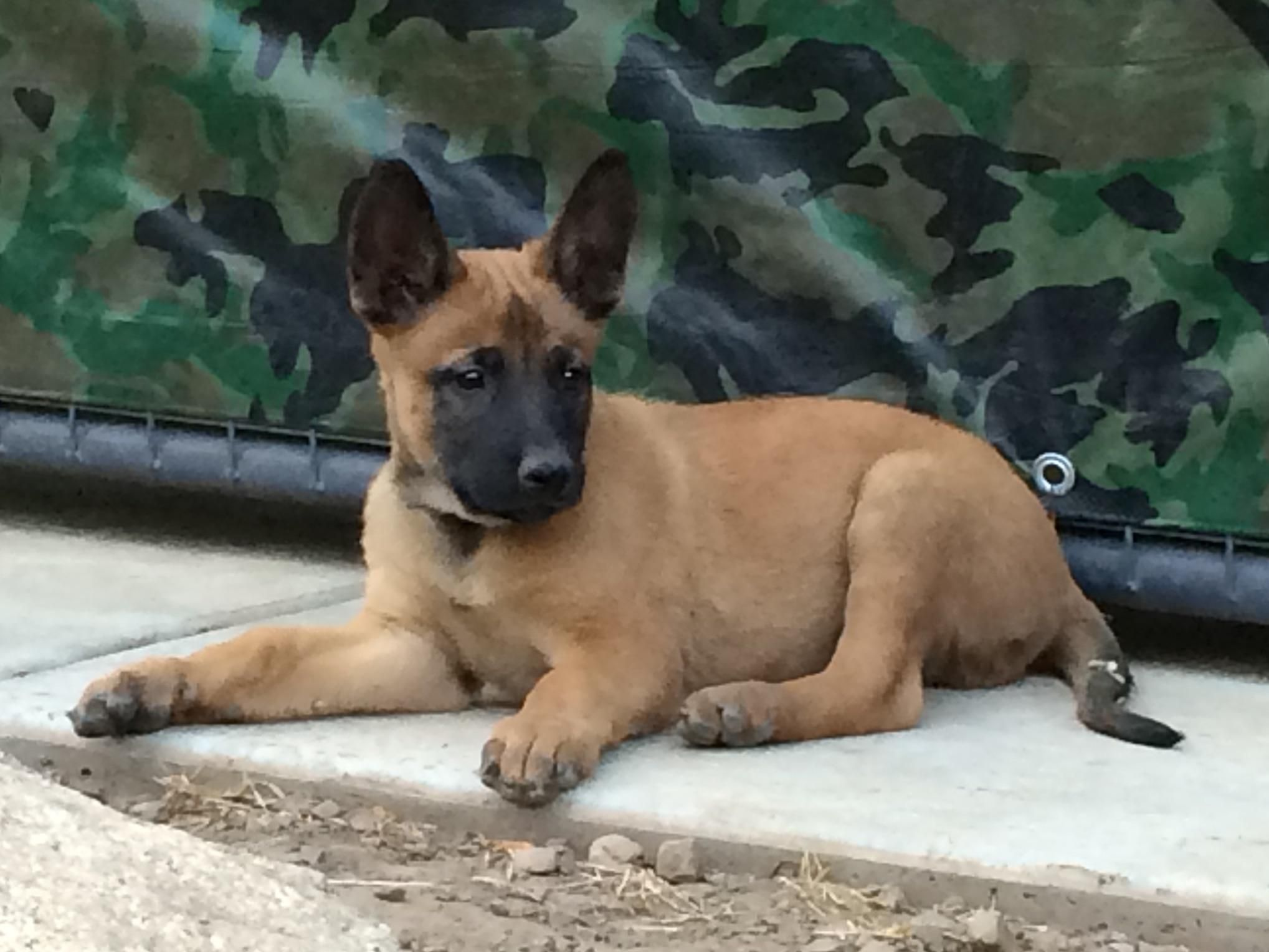 Belgian Malinois For Sale By Top Van Den Berg K 9 Belgian Malinois American Kennel Club Belgian Malinois Malinois Belgian Shepherd