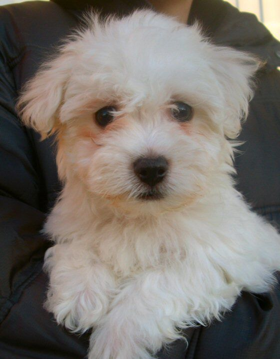 Havanese Is The National Dog Of Cuba Charles Dickens Had A