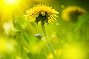 Dandelion Flower Meaning Dandelion Dandelion Meaning Dandelion Flower