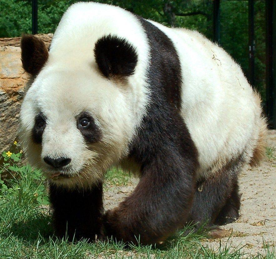 cool panda pick | animals | Pinterest