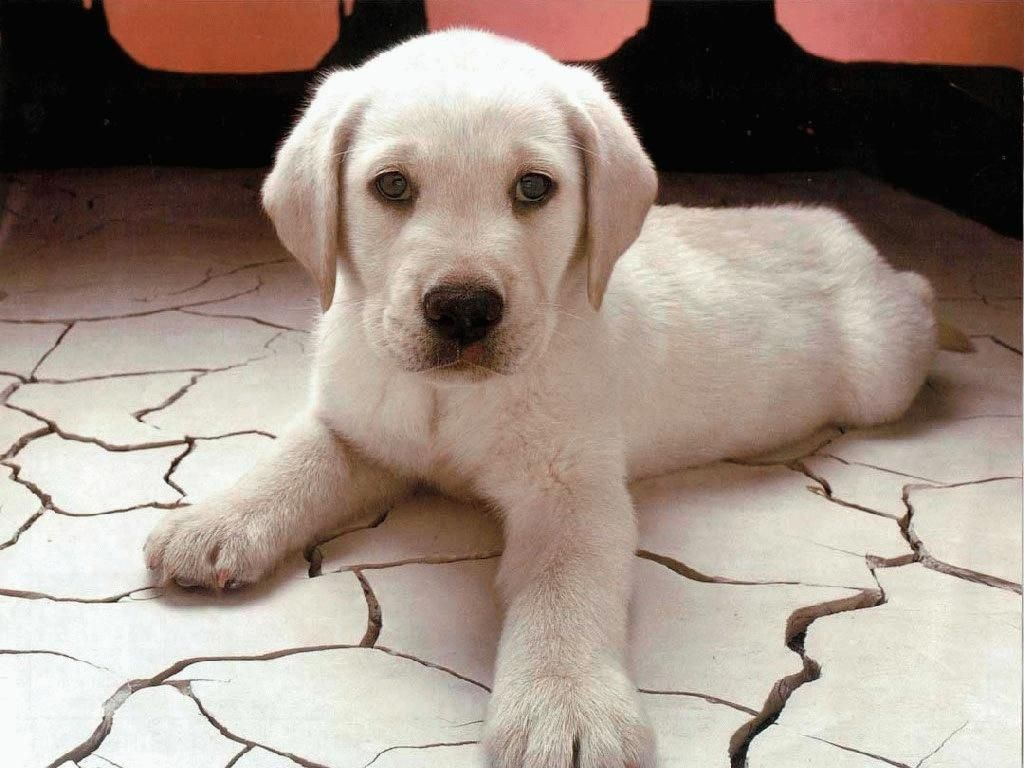 Gorgeous White Lab Puppy Cute Puppy Wallpaper Labrador