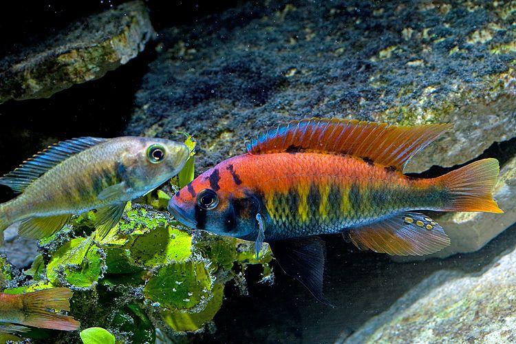 Pundamilia Nyererei Aquarium Fish Tropical Fish Cichlid Fish