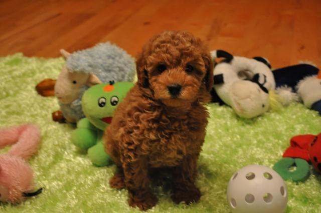 chocolate maltipoo puppies - photo #22