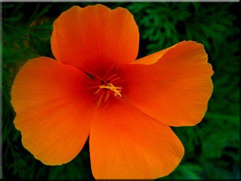 Flower of california best flower 2017 california state flower how to grow california poppy pla natural mightylinksfo Gallery