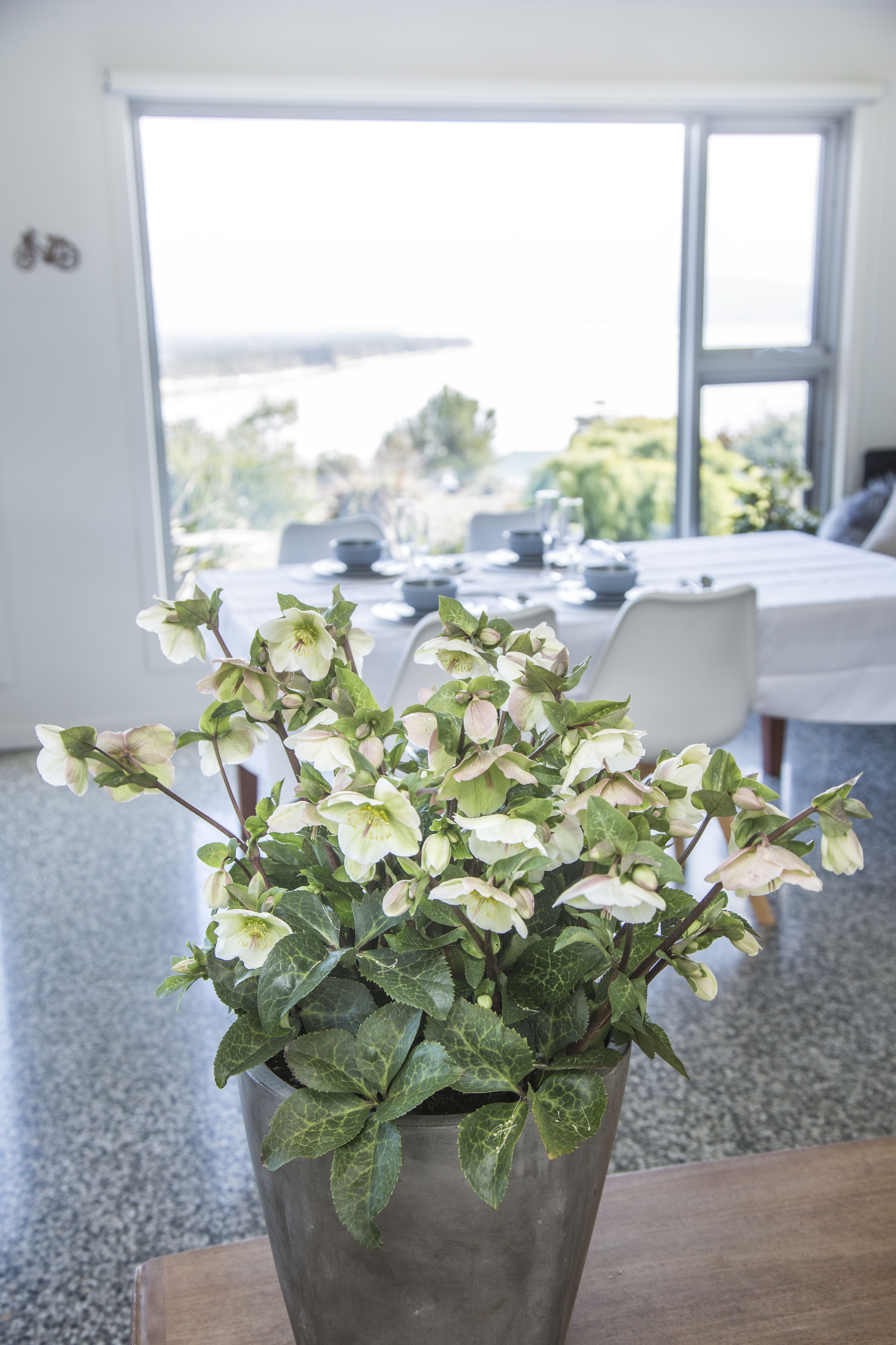 Helleborus Mollys White Beautiful White Flowers With Blush Pink