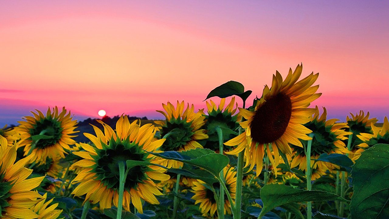 Sunflower Field Desktop Background Is Cool Wallpapers