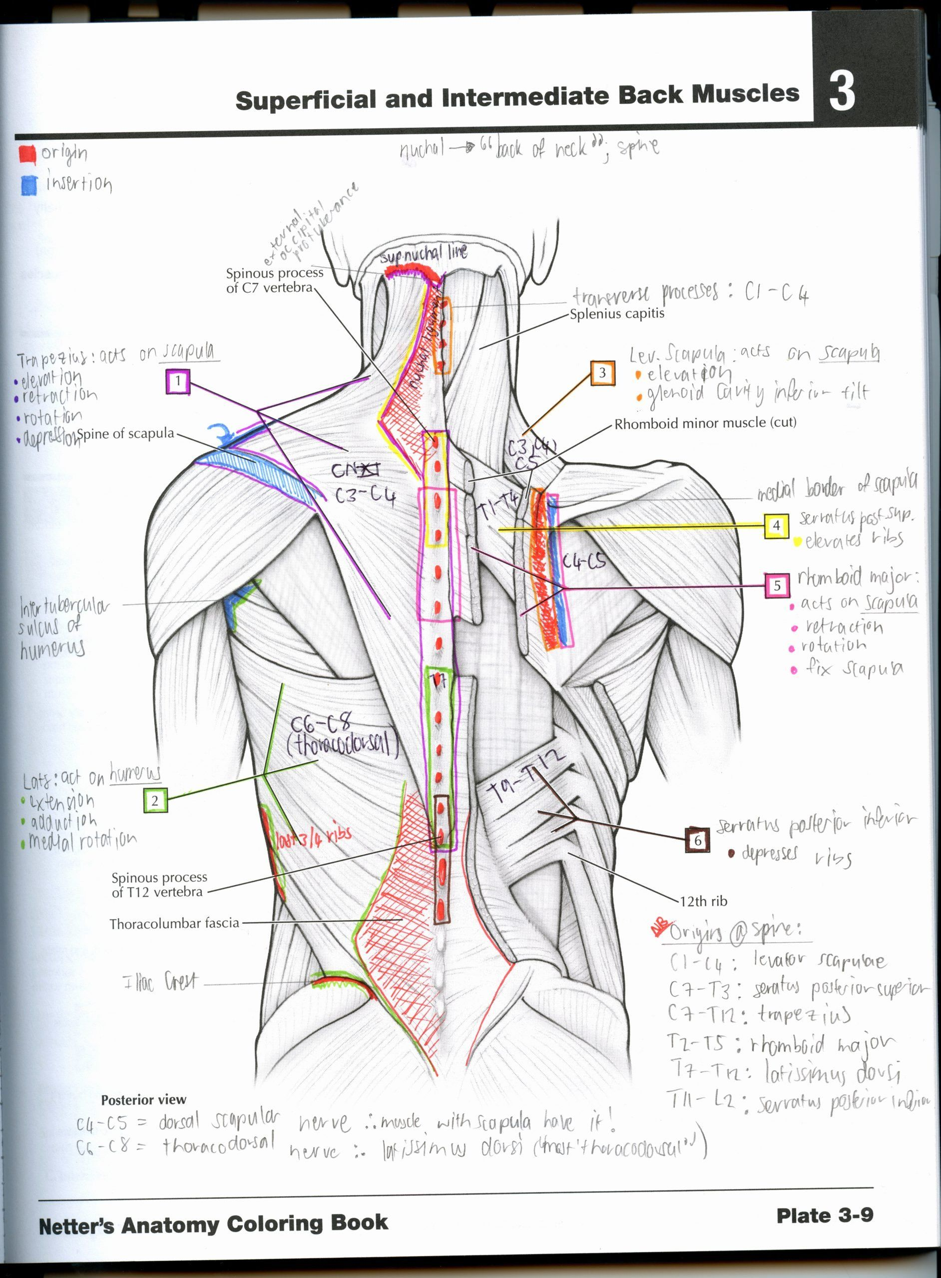 Netter's Anatomy Coloring Book Pdf : netter's, anatomy, coloring, Netter, Anatomy, Coloring, Lovely, Learn, Colouring, Barefoot, Whispers, Book,, Books,