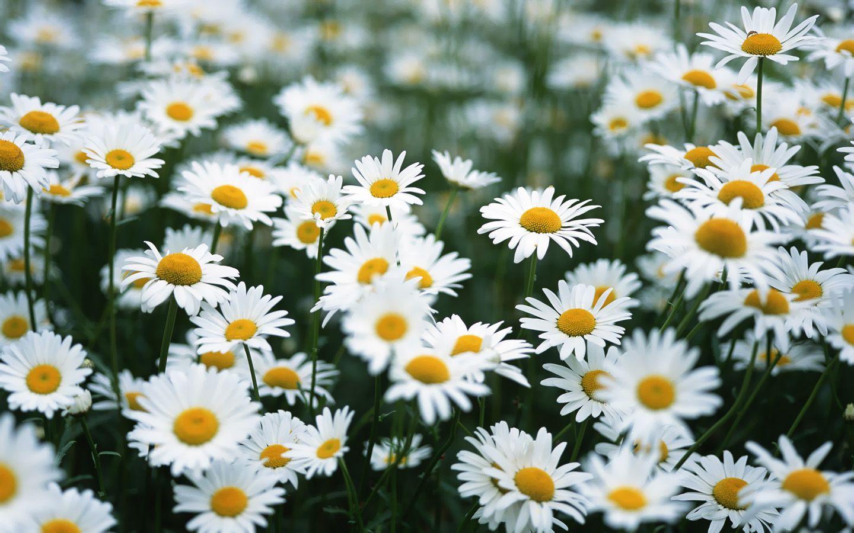 Chrysanthemum Daisy Mums Daisies Daisy Flower Pictures Daisy Flower