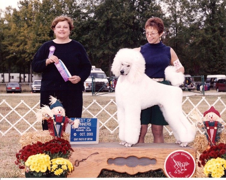 Standard Poodles Atlanta Ga Poodle Puppies Champions Sundance