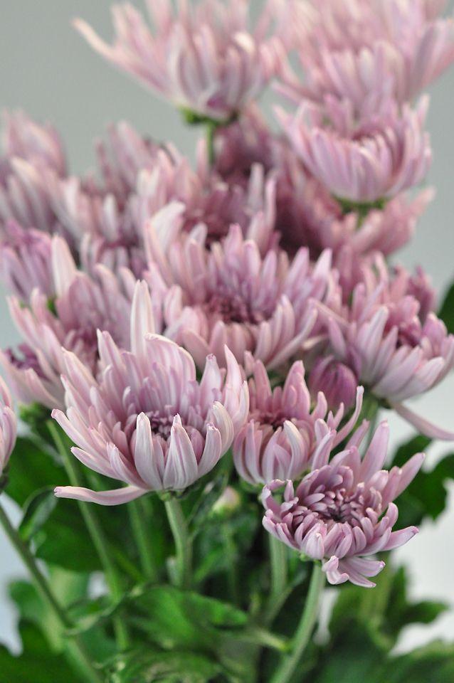 Chrysanthemums Polaris With Images Chrysanthemum Wholesale Flowers Flowers