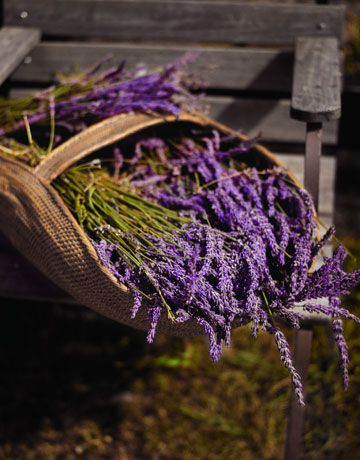 Lavender Basket - Hardy Lavandula angustifolia, or English lavender, blooms early and is adaptable to cooler, more humid areas. Hybrid varieties, such as 'England' and 'Silver Frost', enjoy a longer blooming season, as do Intermedia French hybrids, including L. x intermedia 'Grosso' and 'Provence', which also flower late and are especially treasured for their perfume.