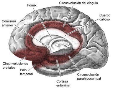 sistema-limbico1 | Anatomía y fisiología | Pinterest | Fisiología ...