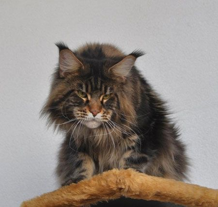 Pin Auf Maine Coon Uk
